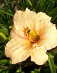 Hemerocallis Mini Peach