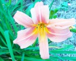 Hemerocallis Peach Rose