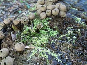 Puff Balls and Moss on Stump