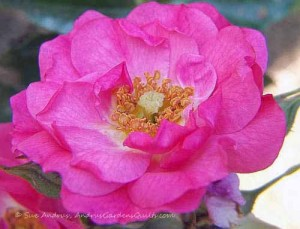 Single Open Pink Rose