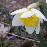 Daffodil Opening in Snow Glories