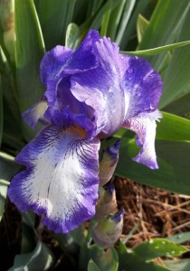 First Iris Flower of 2012