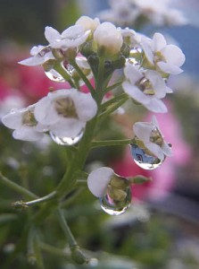 Raindrops on Alyssum