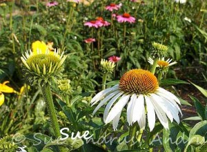 White Echinacea with More