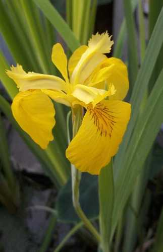 Water Iris Open Flower