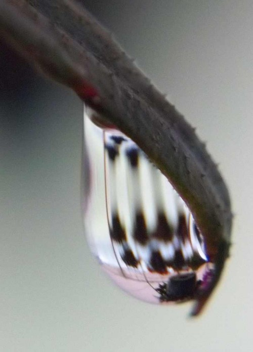 Raindrop with reflections of hanging baskets.. One of the photos used for butterfly wings.