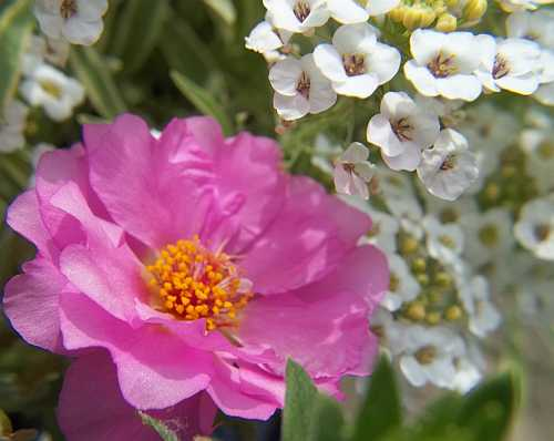 Portulaca and Alyssum