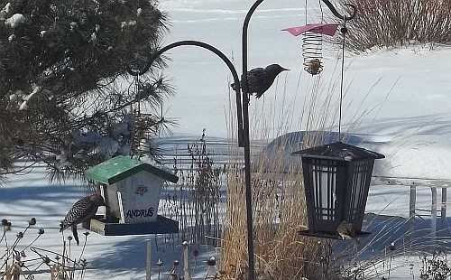 The Bird Feeders are a good distraction on bad days... I do wish the Starlings hadn't discovered the suet.