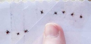 Ticks on Tape... My thumb is in the photo to give an idea of the size of these creepy critters.