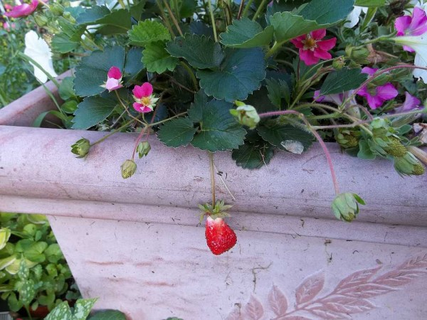 Pink Flowering Strawberry