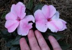 New Guinea Impatiens Flowers