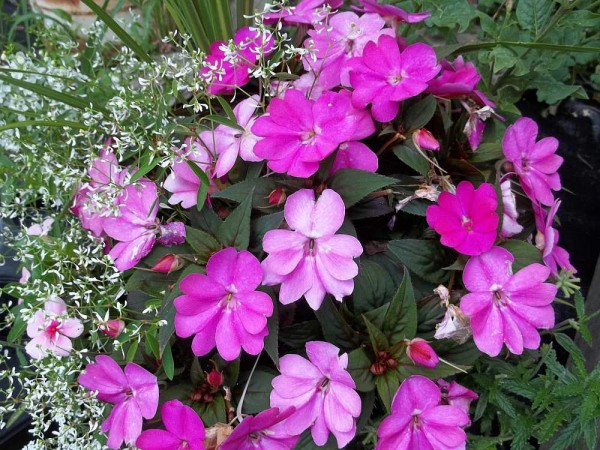 Sunpatiens in Planter