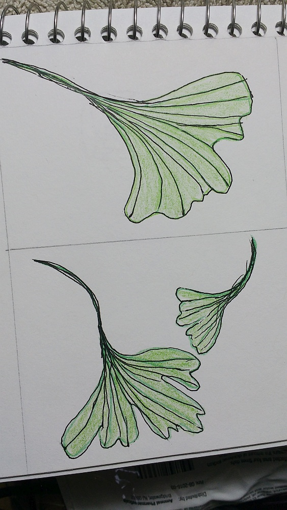 Ginkgo leaf sketches by Sue Andrus
