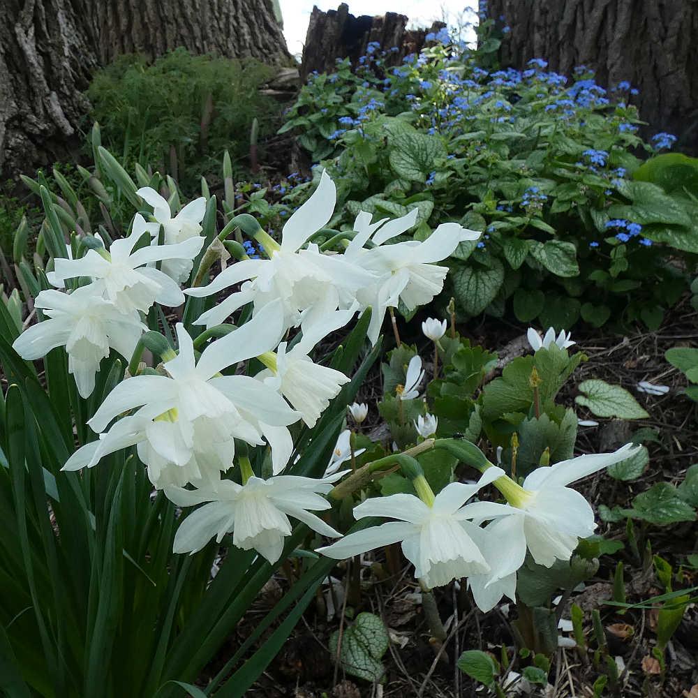 Andrus Gardens, Walnut Garden, Thalia Daffodil and blue Brunnera flowers.
